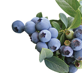 Blueberries-Oneal