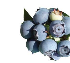 Blueberries-Star
