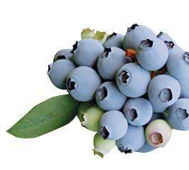 Blueberries-Ventura