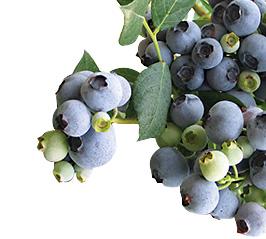 Blueberries-Camelia