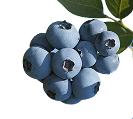 We produce more than 1,8 thousand tonns of the most updated variaties of blueberries