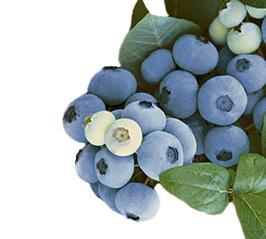 Blueberries-Topshelf