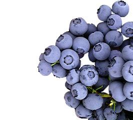 Blueberries-Elliot