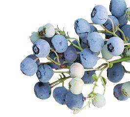 Blueberries-Chlockonee